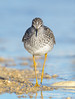 Yellowlegs (Amy Hudechek Photography) Tags: red yellowlegs amyhudechek nikond500 nikon600mmf4 colorado spring migration nature wildlife lake shorebird