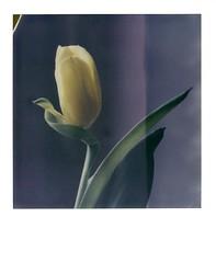 tulipe (JJ_REY) Tags: tulipe tulip jaune yellow fleur flower instantfilm colors impossibleproject color600 toyofield 45a polaroid405back sironarn 150mm epson colmar alsace france