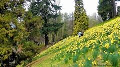 """Parco della Burcina (Ferruccio Zanone) Tags: parco burcina pollone biella narcisi fiori fioritura vita """"felice piacenza"""""""