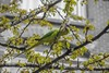 Indian Ring-Necked Parakeet (Luke Hermans Photography) Tags: halsband parkiet indian rose ringed ring necked parakeet birds vogels den haag the hague nederland netherlands nature natuur fotografie photography color splash animals dieren