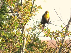 006(2)  Yellow-headed Blackbird (baypeep) Tags: