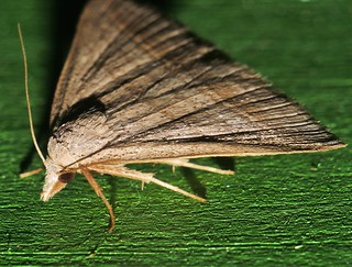 Little needle tusk triangle winged snout moth Loxioda sp aff hampsoni Noctuidae Airlie Beach rainforest P1240360