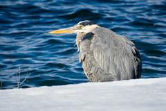 Web great blue heron (mtschappat@verizon.net) Tags: great blue heron lake parsippany new jersey sony rx10m3 photoshop on1