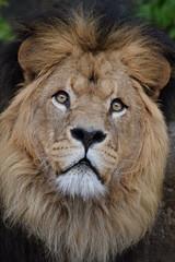 Caesar @ Artis 27-04-2017 (Maxime de Boer) Tags: caesar african lion afrikaanse leeuw panthera leo big cats katachtigen natura artis magistra zoo amsterdam animals dieren dierentuin gods creation schepping creator schepper genesis