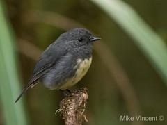 South Island Robin-2 (Hickenbothom) Tags: south island robin toutouwai petroica australis new zealand endemic bird passerine