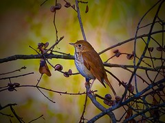 Hermit Thrush (George McHenry Photography) Tags: birds thrush thrushes hermitthrush southcarolinabirds southcarolina