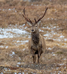 DSC2831 Highland Stag.. (jefflack Wildlife&Nature) Tags: deer deers stag stags animal animals wildlife highlands moorland moors mountains countryside scotland antlers nature reddeer ngc coth coth5