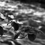 Dogwoods Along the Merced River (Black & White) thumbnail