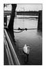 Paris (Punkrocker*) Tags: nikon f2 sb nikkor 352 préai film ilford pan 400 nb bwfp river seine flood swan zen paris france