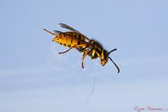 Guêpe (Ezzo33) Tags: france gironde nouvelleaquitaine bordeaux ezzo33 nammour ezzat sony rx10m3 parc jardin insecte insectes guêpe wasp