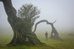(RicardoPestana2012) Tags: fanal trees fog mist madeira madeiraisland