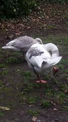 20180320_091653 (The Unofficial Photographer (CFB)) Tags: internationalhappinessday deardiarymar2018 featheredfriends goose epsomandewell londonlife