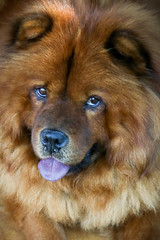 Yoko Ono (Johnny Photofucker) Tags: cachorro dog cane chien animal animale bicho pet portrait retrato lightroom 24105mm
