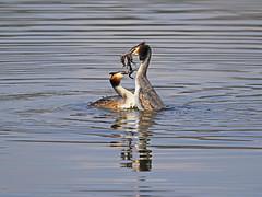 Podiceps cristatus /Svasso Maggiore  /Great crested grebe (Alvaro Colombo) Tags: coth fantasticnature specanimal ngc npc