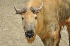Budorcas taxicolor tibetana - Sichuan Takin (Going to the Zoo with Trebaruna) Tags: 15082011 2011 netherlands rotterdam rotterdamzoo diergaardeblijdorp diergaarderotterdam diergaarde animal zooanimal