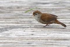 DSC_5437_DxO_pn _ Bouscarle de Cetti - Cettia cetti - Cetti's Warbler (Berzou) Tags: bouscarledecetti cettiacetti cettiswarbler oiseau bird nature naturebynikon nikond7200 tamron150600 pontdegau camargue