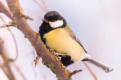 Parus Major (laurilehtophotography) Tags: suomi finland jyväskylä nature wildlife winter snow bird birding tree closeup nikon d610 nikkor 200500mm amazing europe outdoor parusmajor