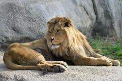 Atlas (olivier.ghettem) Tags: zoodeparis zoodevincennes zoo parczoologiquedeparis paris afrique africa lion liondafrique liondelatlas carnivore felin fauve animal