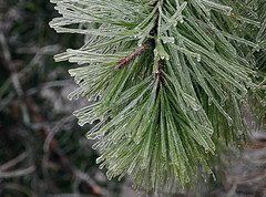 clothed in ice (scott1346) Tags: tree pine longneedle ice coating winter sheath cold season color green brown clear needle canon canont3i closeup macro 1001nights 1001nightsmagiccity thegalaxy