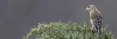 Greenfinch (Edwyn Anderton) Tags: greenfinch malegreenfinch peakdistrict padleygorge padley longshaw longshawestate