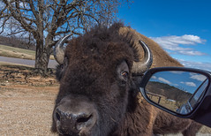 Objects in the rearview mirror are further away than THE BISON IN YOUR FACE! (Pejasar) Tags: rearviewmirror window bison inyourface closeup hungry mammal animal arbucklewilderness oklahoma nikon d7200 zoosofnorthamerica