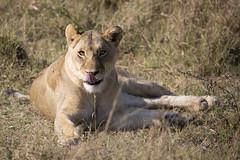 Lioness (matttrevillion) Tags: lion lioness africa botswana khwai chobe