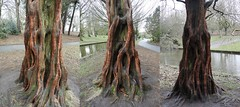 REDTRUNKTHREESIDES (garydavidworthington) Tags: liverpool seftonpark trees woods park photography red grass uk cool wood tree iconic amazing wonderful triptic view three nature