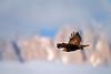 Nature Details (Nature Details) Tags: ital italy eagle poiana abruzzo wild wildlife birds