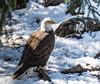 Eagle in snow (six28fifty) Tags: eagle americanbaldeagle nature wildlife
