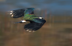 flying Lapwing (hardy-gjK) Tags: kiebitz lapwing bird vogel oiseau hardy nikon motion bewegung flight flug nature wildlife tiere animals