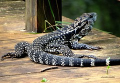 Lagarteando (Sophie Carrière) Tags: répteis animal lagarto natureza