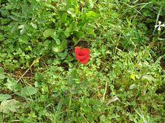 Ψίνθος (Psinthos.Net) Tags: ψίνθοσ φύση εξοχή άνοιξη spring nature countryside psinthos march μάρτησ μάρτιοσ πρωί πρωίάνοιξησ ανοιξιάτικοπρωί morning fasouli fasuli φασούλι φασούλιψίνθου φασούλιψίνθοσ fasoulipsinthos fasoulipsinthou pollen γύρη χόρτα greens poppy παπαρούνα redflower flower wildflower άγριολουλούδι αγριολούλουδο κόκκινολουλούδι redblossom κόκκινοάνθοσ κόκκινοσανθόσ άνθοσ ανθόσ blossom άσπρολουλούδι λευκόλουλούδι ρόκα whiteflower rocklet whiteblossom λευκόάνθοσ λευκόσανθόσ ηλιόλουστημέρα μέρα day sunnyday light φώσ sunlight φώσήλιου φώσηλίου σκιά shadow