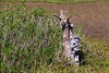 IMG_4131 (SweetMeow) Tags: huntingislandboardwalk lowcountry marsh deadtrees