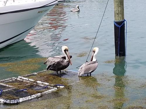 Chillin' pelicans