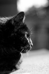 Irish (Aelys Lotta) Tags: cat cats chat chats noir black eye eyes green vert verts yeux animal animals animaux white et blanc domestic pet