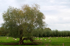 Foudroyé (Atreides59) Tags: arbre tree nature mouton sheep moutons sheeps ciel sky nuages clouds vert green belgique belgium pentax k30 k 30 pentaxart atreides atreides59 cedriclafrance arbres trees