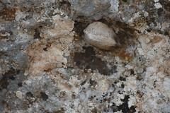 Ooteca de Mantidae (esta_ahi) Tags: planadancosa ooteca mantidae mantodea insectos fauna lallacuna anoia barcelona spain españa испания