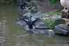 cormorant (deveronclarijs) Tags: animals animal blijdorp dierentuin dieren dier diergaarde d5300 nederland nl nikon nikond5300 rotterdam zoo bird birds vogel vogels cormorant