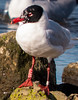 Mediterranean Gull  - Adult (John Tymon) Tags: rare ringed gull pennington leigh