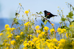 Red-winged on yellow-0361 (alankrakauer) Tags: ebrpd wildcat publiclands eastbay spring birds nature parks animals