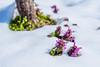 spring is coming soon (Che Camera) Tags: badenwürtemberg bischoffingen blume blüte flower gegenlicht kaiserstuhl sonyalpha6300 sonysel50mmf18oss taubnessel teamsony vogtsburg winter vogtsburgimkaiserstuhl badenwürttemberg deutschland de