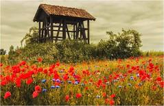 Rot und Blau (linke64) Tags: thüringen natur landschaft feld sommer fachwerk deutschland germany mohnblumen himmel wolken kulturlandschaft kornblumen rahmen gebüsch