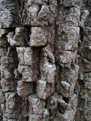 The bark of the banksia, in close up (Su_G) Tags: sug 2018 nature bansia bansias plant botanical australiana australianwildflower australia australianplant closeup banksiabark bark treebark grays darkgray australiannationalbotanicgardens