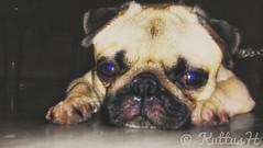 Cuteness overload #love #pet #pug #life #cute #beauty (KuttusH's) Tags: pet love beauty cute life pug