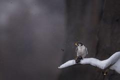Cold Kill (Scott Joshua Dere) Tags: falcon winter snowing birdofprey peregrinefalcon