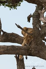 Tree Climbing Lions of the Serengeti (robsall) Tags: 2016 500mm 7dmark2 7dmarkii 7dm2 7dmii africa africatourism africawildlifephotography africanwildlife big bigcat bigcats canon canon500mmf4lisiiusm canon500mmf4 canon500mmf4lii canon500mmf4ii canon7dmark2 canon7dmarkii canon7d2 canon7dm2 canoneos canoneos7dmark2 canoneos7dm2 carnivore cat endangered family feline largefelines lion lioness lions mammal pantheraleo predator robsallaeiral robsalldrone robsalldronephotography robsallphotography robsallwildlifephotography serengetinationalpark tanzania tanzania2016 treeclimbinglion treeclimbinglions vacation vulnerable mararegion tz