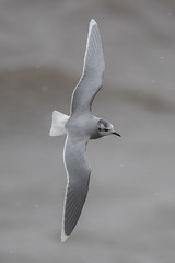 Little Gull (Simon Stobart (Catching Up and Editing)) Tags: little gull hydrocoloeus minutus flying northeast england coth naturethroughthelens coth5 ngc npc
