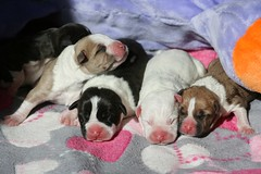 IMG_9025.1 (dzikusiak) Tags: amstaff puppy american staffordshire terrier puppies pitbull