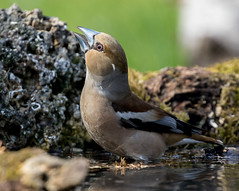 06 04 2018 (cathyk31) Tags: grosbeccassenoyaux oiseau coccothraustescoccothraustes fringillidés hawfinch passériformes bird