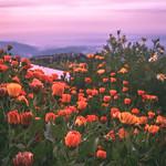 Marigold bloom! thumbnail